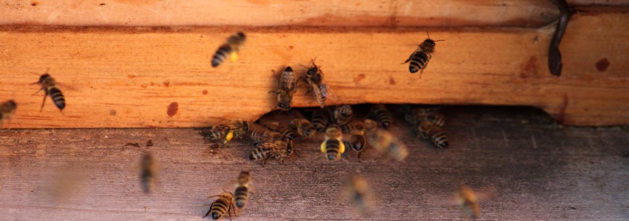 Bienenwunder