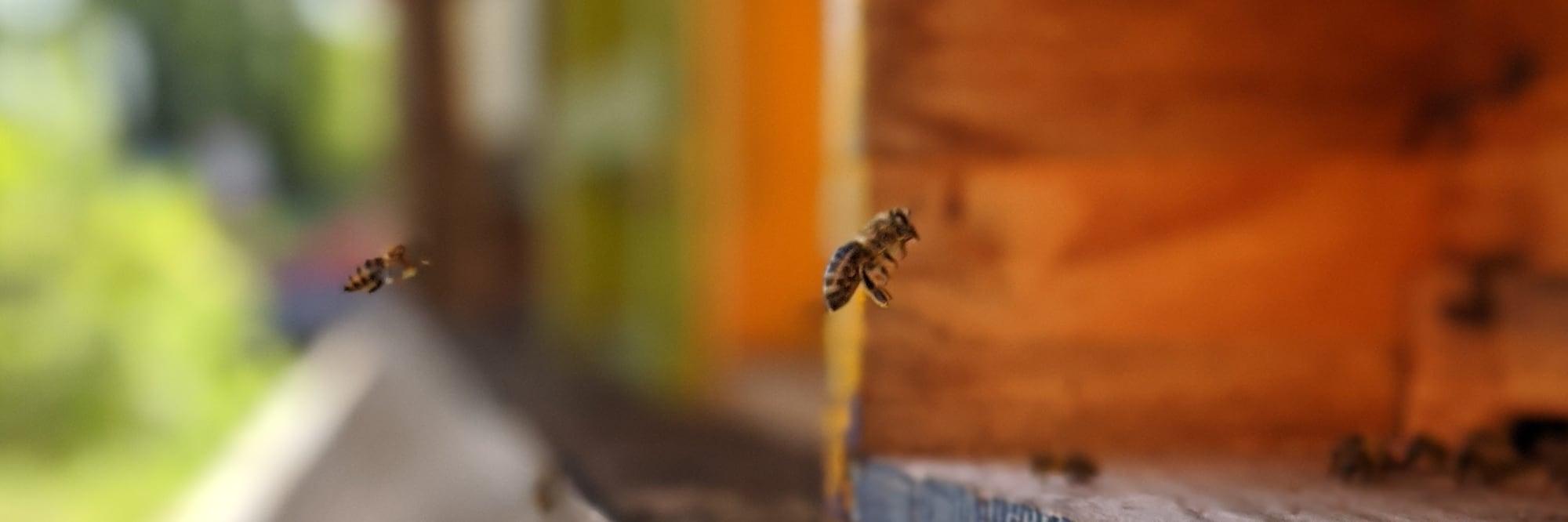 Bienen auf dem Scheffehof